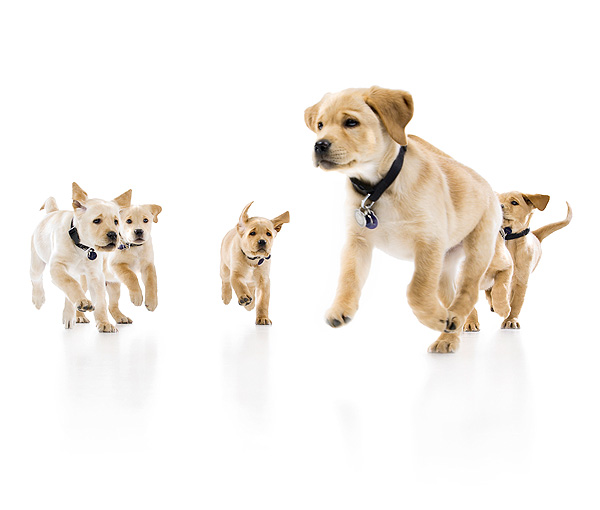 RSB Guide Dog Puppies